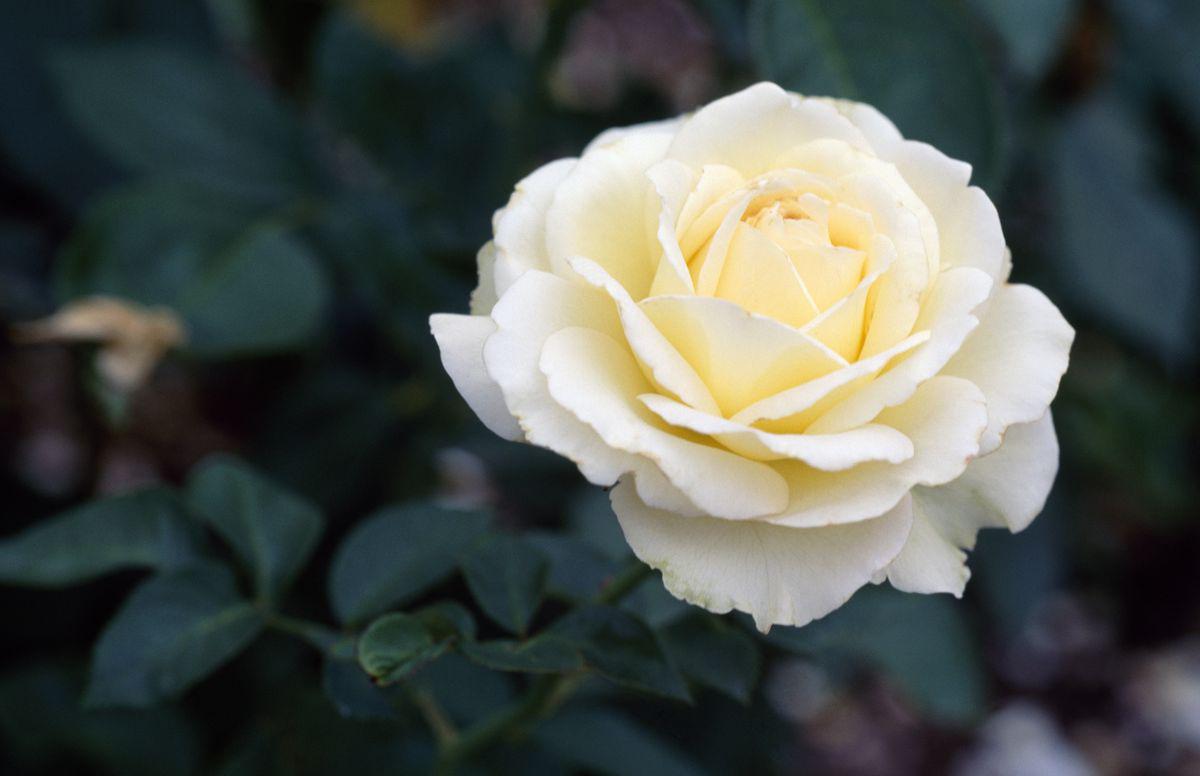 အိုင်းရစ်နှင်းဆီ